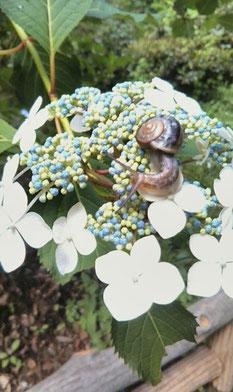 額紫陽花の上にカタツムリ!井の頭公園にて。