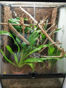 Phelsuma guttata Terrarium