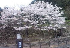 大川内山の桜(H25.3)