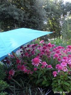 ljetne vrućine, zaštita bilja, trajnice, echinacea