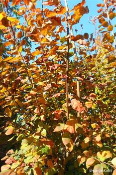 "Cotinus ""Royal purple"" u fazi otpadanja listova."
