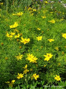 Coreopsis verticillata, trajnica, sunce, perennial, sun