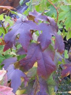 Purpurno lišće Liquidambara.