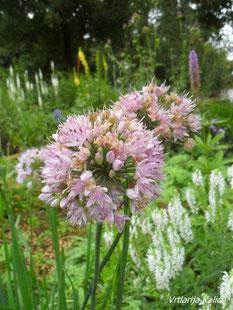 Allium montanu, ukrasni luk, kalići, trajnice sunce