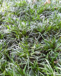 "Ophiopogon japonicus ""Tamaryu no. 2"", trajnice, zamjena za travnjak, pokrivač tla"
