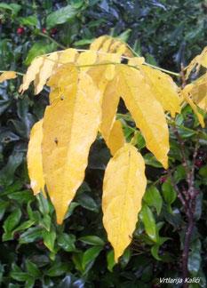 Nakon razgradnje klorofila karotenoidi su ponovno vidljivi u listovima glicinije, Wisteria sinensis.