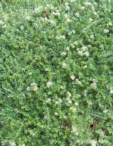 Paronychia kapela ssp. serpyllifolia , trajnice, zamjena za travnjak, pokrivač tla