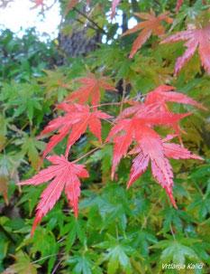 Acer palmatum u jesen ima predivnu crvenu boju.