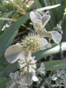 Marrubium incanum (Bijela marulja)