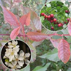 Prunus cerasifera - Prunier myrobolan