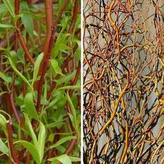 Salix tortuosa - Saule de Pékin (printemps/hiver)