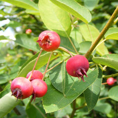 Amelanchier canadensis fruit