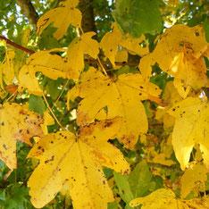 Acer campestris - Erable champêtre