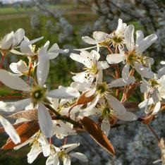 Amelanchier canadensis fleur