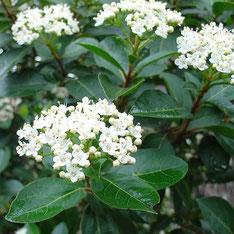 Viburnum tinus (fleur)
