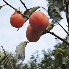 柿の木の縁起