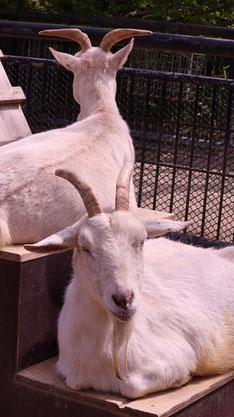 ヤギ、哺乳類、動物園、動物の写真フリー素材 Pictures of goats, mammals, zoos, animals Free material
