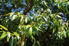 Weidenbaum