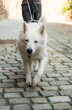 Schweizer Schäferhund - Chico
