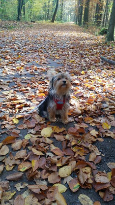 Gina, Yorkshire Terrier