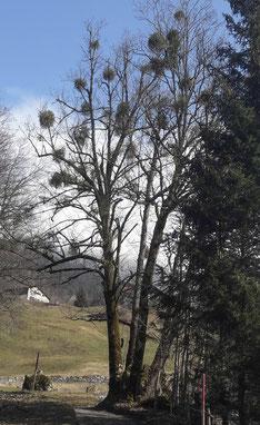 Von vielen Misteln in Beschlag genommener Baum am Hasliberg