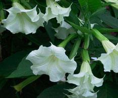 plantas más venenosas invertirenfamilia.com
