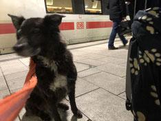 Hund vor einem Deutsche Bahn ICE am Hauptbahnhof Hamburg
