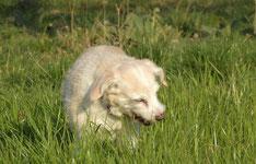 un petit chien blanc mange de l'herbe pour se purger par coach canin 16 educateur canin à domicile en charente