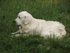 un golden retriever blanc couché dans l'herbe par coach canin 16 educateur canin à domicile en charente