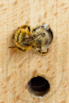 Rote Mauerbiene Osmia bicornis Bau Verschlußdeckel