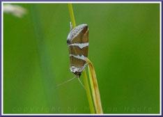 Silbergestreiftes Grasmotteneulchen