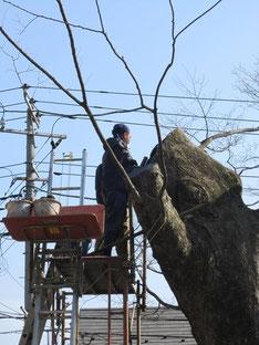 樹幹に団子を詰めているところ
