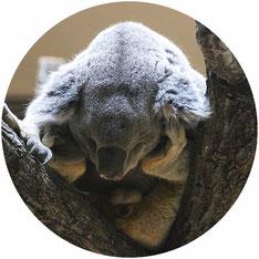 有袋類:コアラ(別ページがあります)