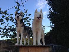 Wir sind die coolen Boy`s vom Huskyrudel Oberönz (Amarok und Blizzard, v.li.)