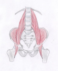 Anatomie: Psoas major