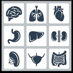 Organe, in denen Quecksilber gespeichert wird. (© greyi - Fotolia.com)