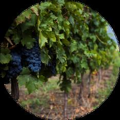 Rebsorten für rumänische Qualitätsweine