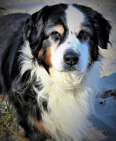 Syndrome confusionnel du chien âgé