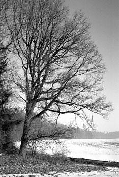Schwarz-Weiß-Foto: Eiche am Waldrand