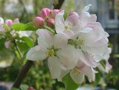 Apfelblüte©ChristinaBecker
