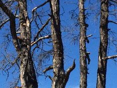 Следы перевязи на ветвях туру. Таким деревьям специально придавали чоронообразную форму.