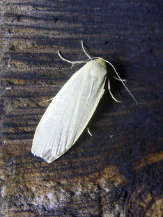 Common footman moth Eilema lurideola
