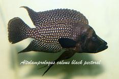 Altolamprologus, Altolamprologus calvus, Altolamprologus calvus black, Altolamprologus calvus black pectoral