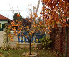 Junger Kakibaum von seiner schönsten  Seite
