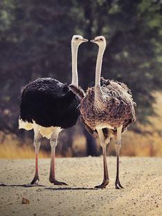 Straußenpaar in der Kalahari