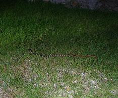 自宅の芝にいたアカマタ