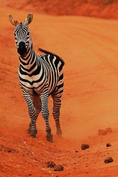 Zebra/ Tsavo West, Kenia