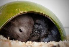 Chinchillas im Schlafhäuschen