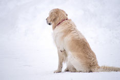 Un chien golden retriever beige dans la neige par coach canin 16 éducateur canin angoulême