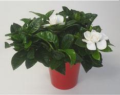 Gardenia in rode keramiek pot